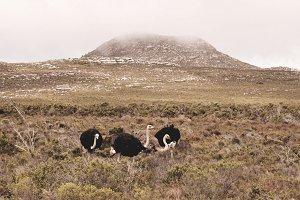 Wild Ostriches
