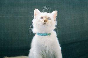 Kitten wearing a collar