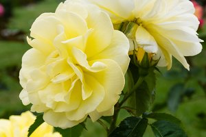 Colorful rose blooming plants