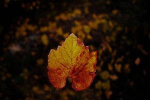 fall(ing) leaf