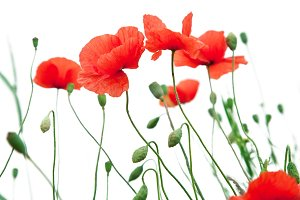 Tender poppy flowers on a white background.