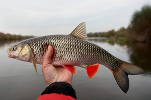 Chub in fisherman's hand