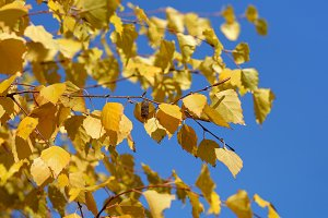 Birch autumn leaves