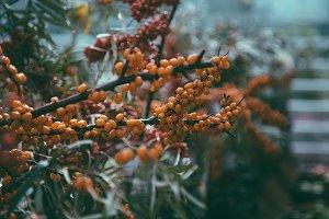 berries of sea buckthorn