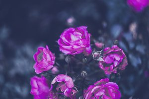 swirley bokeh withered roses