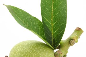 Green walnut with leaves. Isolated on a white background.