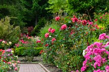 Brick walkway with rose plants