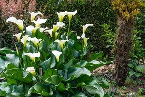 White Calla Lily plant in bloom