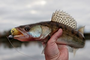 Walleye caught on handmade jig lure,