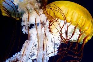 Pacific sea nettle (Chrysaora fuscescens)