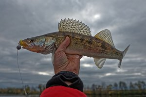 Walleye in fisherman's hand, HDR