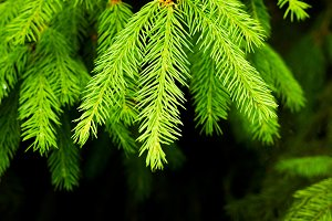 Green Fir tree branch