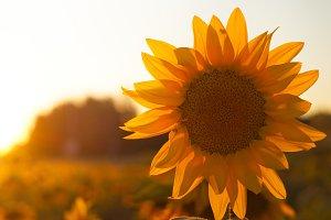 Single suflower on the field