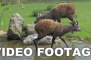 Two sitatunga by pond in the zoo