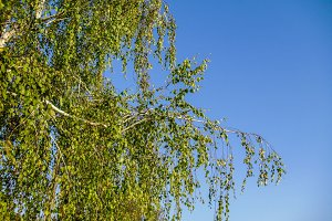 Birch green leaves blue sky