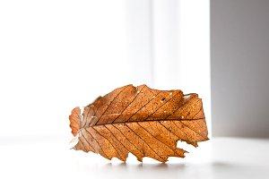 Autumn, fall leaf closeup