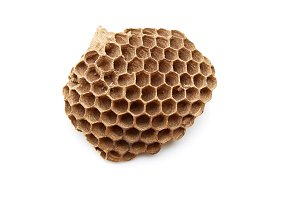 wasp nest with Insect larvae