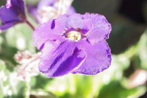 Viola violet flower