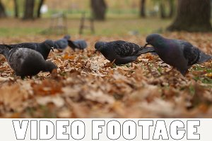 A flock of pigeons eat seeds