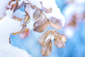 Macro outdoor scene of frozen leaves covered with snow on the branch under the winter frost with light blue background