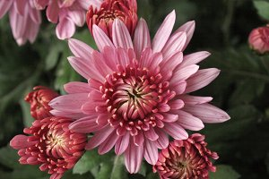 Chrysanthemum picture