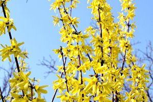 Forsythia picture
