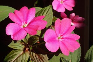 Impatiens New Guinea flower