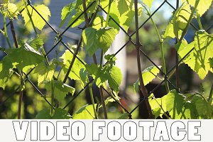 The grape leaves on a fence netting