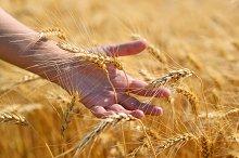 Wheat ears in hand