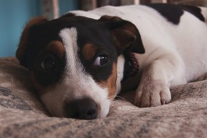 sad little Jack Russell dog lying on a blanket