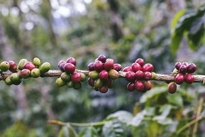 Fresh ripening coffee cherries