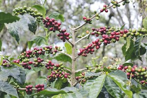 Fresh ripening coffee cherries #2