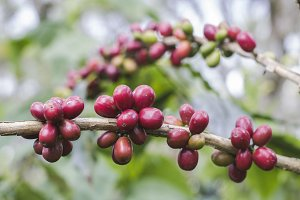 Cherries on branch coffee trees