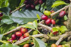 Fresh red coffee cherries on tree