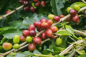 Fresh red coffee cherries on tree #2