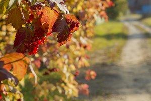 Viburnum bush autumn