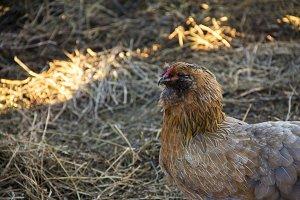 warm chicken