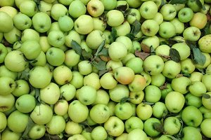 Farmer's basket of green apples