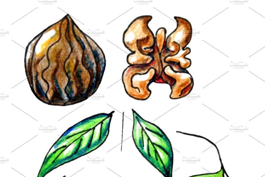 Vector isolated walnut