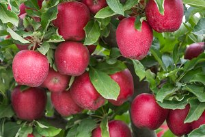 Red Delicious apples in the orchard