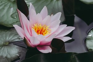 water lily in dark water