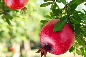 Ripe pomegranates on the tree.