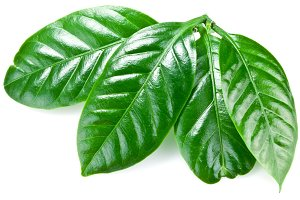 Green coffee leaves isolated