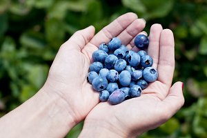 Blueberries in the woman's hands