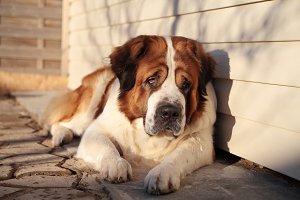 Big dog.