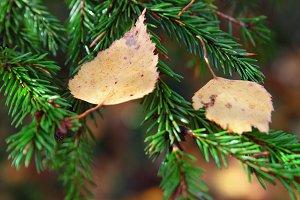 leaves on a fir-tree