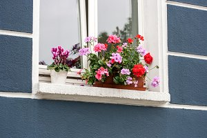 Geraniums at the Window