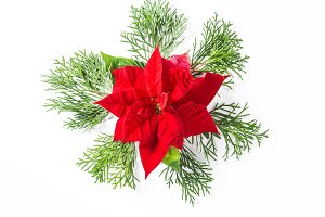 Christmas flower poinsettia