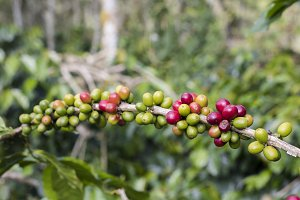 Mix red and green cherries