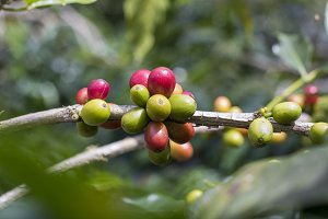 Fresh coffee cherry mix red & green